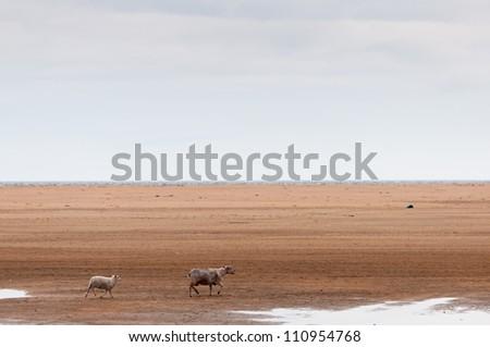 sheep wandering through the desert - stock photo