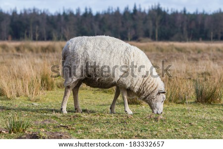 Sheep with a thick winter coat eats the grass