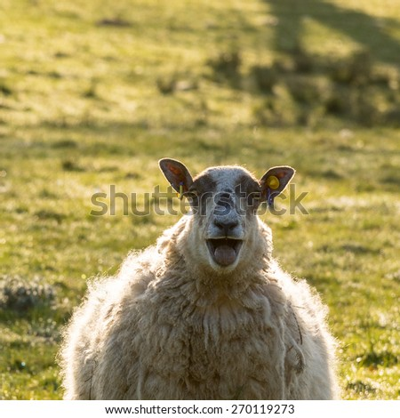 Sheep with attitude