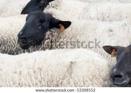 Sheep with black head and white fur