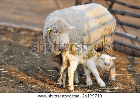 sheep with cute little lamb on field in spring