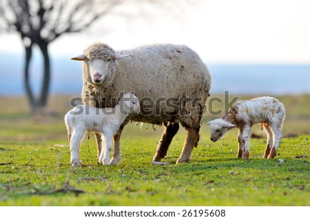 sheep with cute little lambs on field in spring