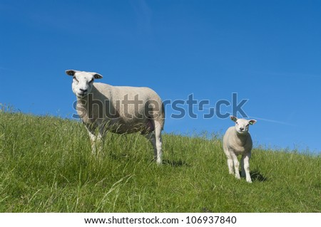 sheep with her lamb on a dutch dike