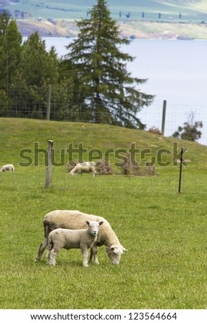 Sheep with lamb livestock in field. Photo taken on: 11th Nov 2011 - stock photo