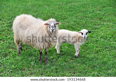 Sheep with lamb on the meadow  - stock photo