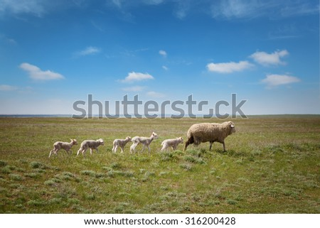 Sheep with lambs on the field under blue sky - stock photo