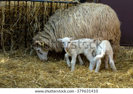 Sheep with small lamb on rural farm. Lamb is Easter holiday symbol