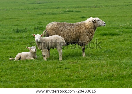 sheep with two lambs - stock photo