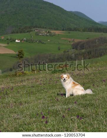 Sheepdog - stock photo