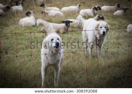 Sheepdogs guarding a flock of sheep herd
