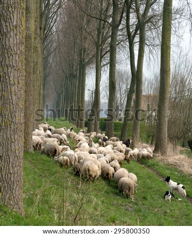 Sheepdogs herding a flock of sheep near the canal of Damme in rural Flanders in Belgium - stock photo