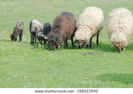 Sheeps and Lambs Grazing in a Green Field