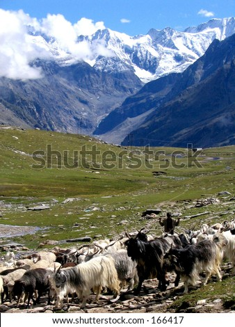 Sheeps and mountain