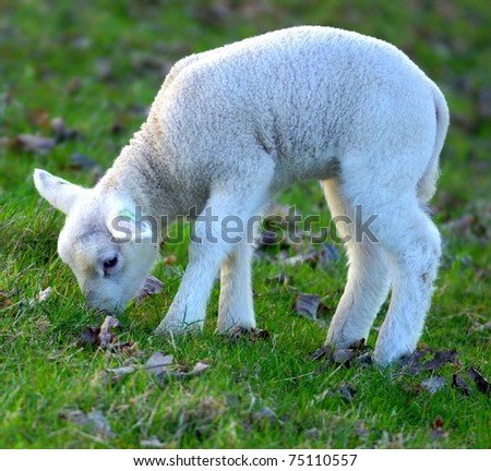 sheeps and young newborn lambs - stock photo