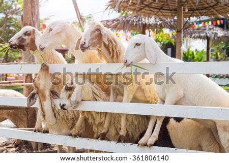 Sheeps are being fed through a fence in a farm, Thailand - stock photo