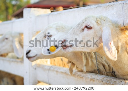 Sheeps behind the fence in farm - stock photo