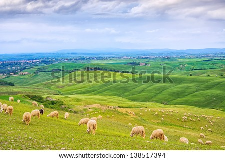 Sheeps grazing in green fields in Orcia Valley, rolling hills on background. Siena, Tuscany, Italy - stock photo