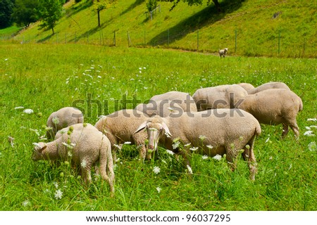 Sheeps Grazing in the Alpine Meadows of Bavaria
