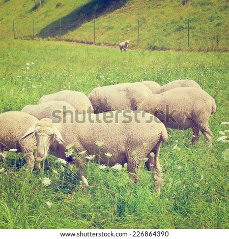 Sheeps Grazing in the Alpine Meadows of Bavaria, Instagram Effect - stock photo