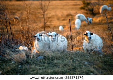 Sheeps grazing on the field at sunset on the Pag islands in Croatia - stock photo
