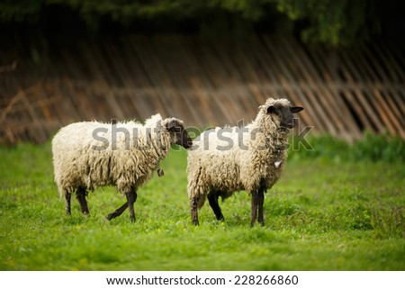 Sheeps in a meadow on a farm, on pasture - stock photo