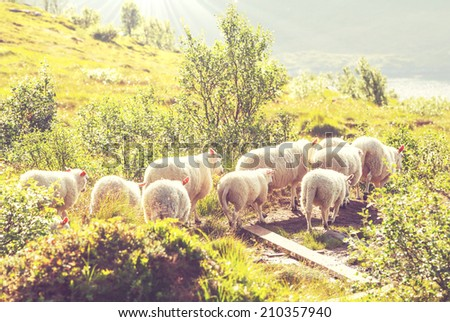 Sheeps  in Norway - stock photo
