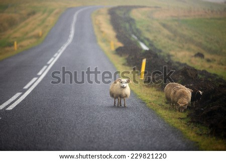 Sheeps in rainy day on the road in Iceland - stock photo