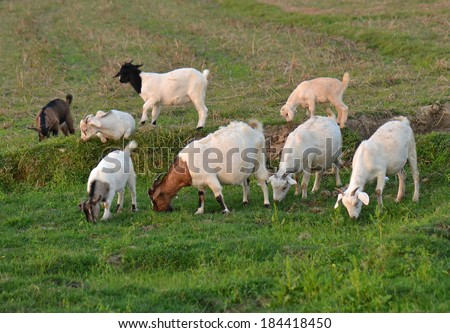 Sheeps in The Pasture - stock photo