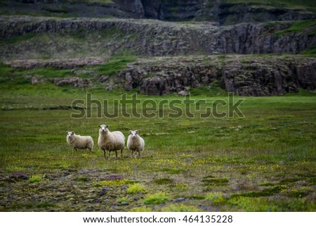 Sheeps in the wilderness of Iceland
