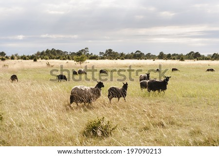 Sheeps on pasture, Gotland, Sweden
