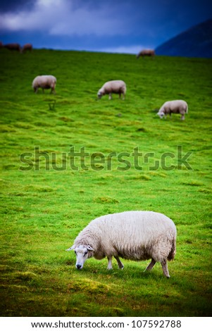Sheeps on pasture. Norway landscape. Focus on foreground sheep.