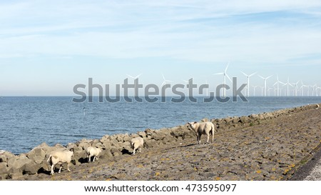 Sheeps searching for water on a hot August day,Ijselmeer lake Urk Netherlands
