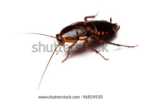 Shelfordella lateralis - Turkestan Cockroach isolated on white - stock photo