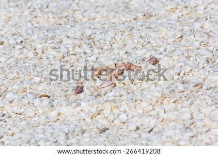 Shell Beach in Western Australia - stock photo