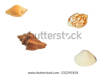 Shell fish  conch Shell - stock photo