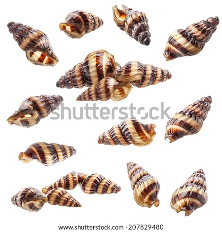 Shell of aquarium Assassin Snail Clea helena (Anentome helena) isolated on white background - stock photo