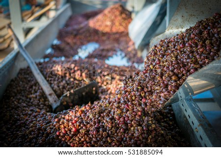shell of fresh coffee beans.After going through the process of shelling beans. Red berries coffee bean process in factory.