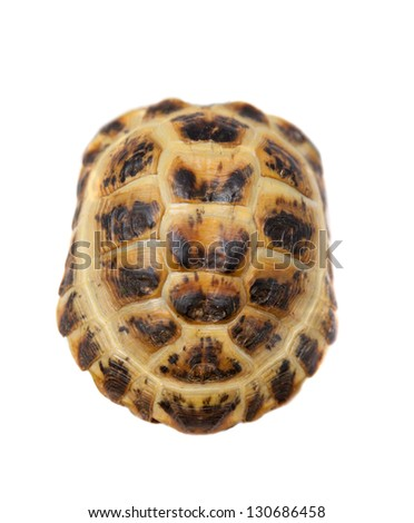 Shell of Russian Tortoise or Central Asian tortoise (Agrionemys horsfieldii) isolated on white background. - stock photo