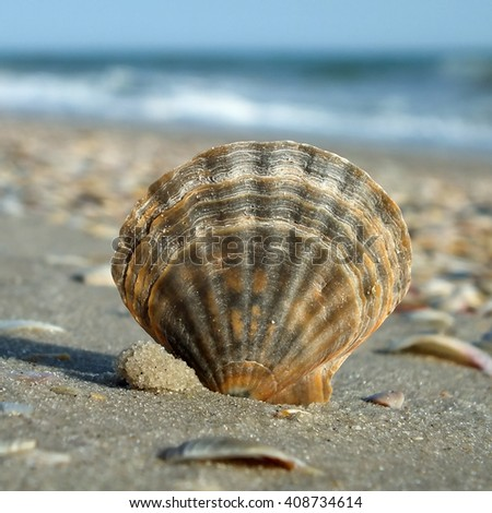 shell of sea scallop on the beach - stock photo