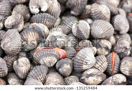 Shells Blood Cockle - stock photo