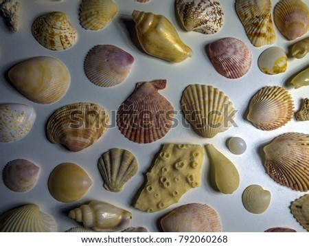 shells of clams on a white background