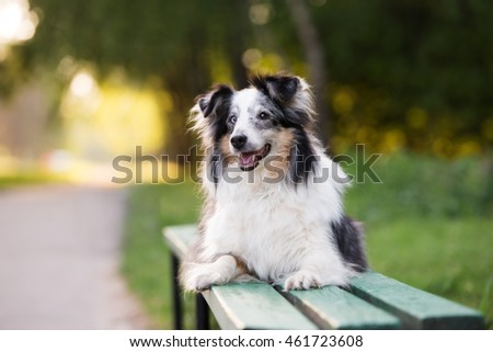 sheltie dog lying down on a bench