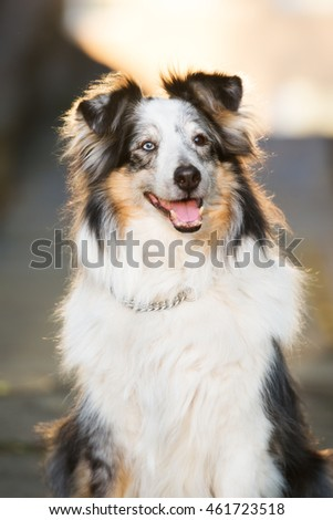 sheltie dog portrait at sunset