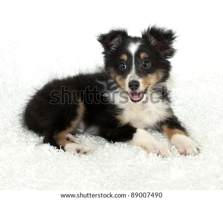 Sheltie (Shetland Sheepdog) puppy on a white background. - stock photo