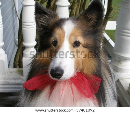 Sheltie with red bow