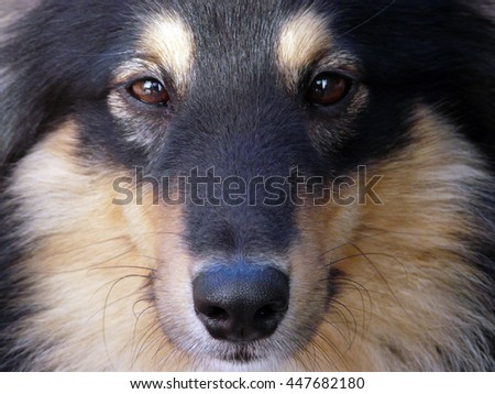 Shelty Portait, Shetland Sheepdog