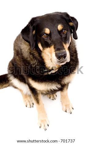 shepard dog - stock photo