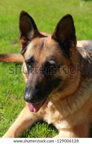 Shepard dog lying on grass outdoors summer background. Closeup portrait - stock photo