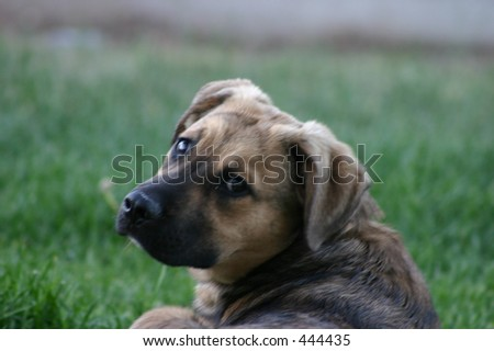 Shepard Puppy in Grass - stock photo