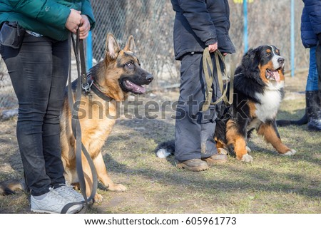 Shepherd and Bernese Mountain Dogs sitting near their masters legs during the dog training course in dogschool